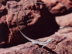 Lizard, Kings Canyon NP