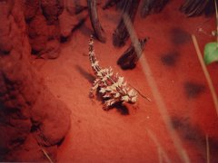 Thorny devil, Desert Park - Alice Springs