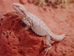 Brown beared dragon, Reptile center - Alice Springs