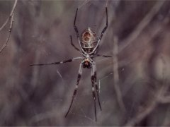 A kind of golden web spider, Ayers Rock
