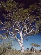 'Ghost gums', McDonell Range Ost