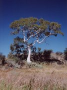 'Ghost gum', McDonell Range Ost